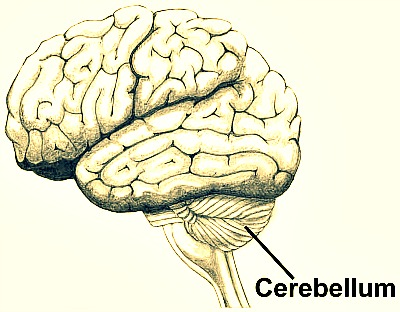 Barefoot Running and the Cerebullum